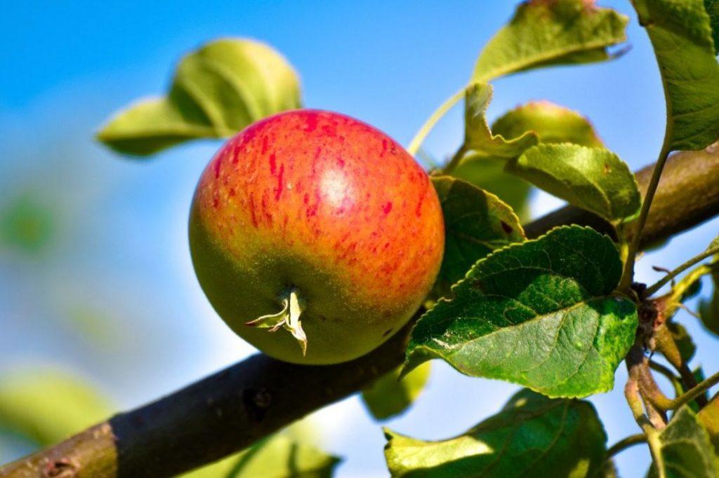 An apple in a tree